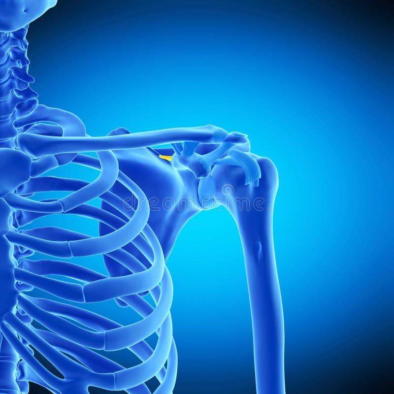 The anterior transverse ligament. Medically accurate illustration of the anterior transverse ligament royalty free illustration