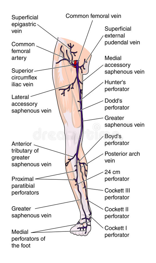 Anterior veins of the leg. Anterior view of the leg showing the major veins stock illustration