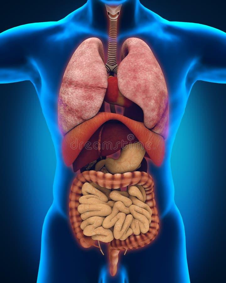 Anterior View Of Human Body Stock Illustration - Illustration of ...