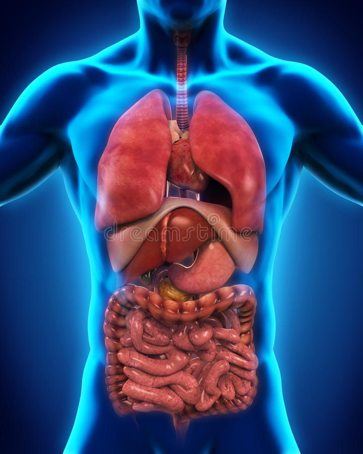Anterior View of Human Body. 3D render vector illustration