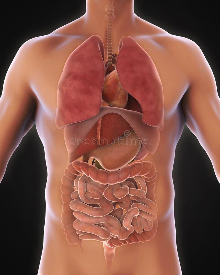 Anterior View of Human Body. Illustration. 3D render royalty free illustration