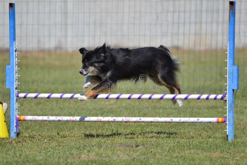 (Anteriormente pastor americano diminuto do australiano) na experimentação da agilidade do cão imagem de stock royalty free