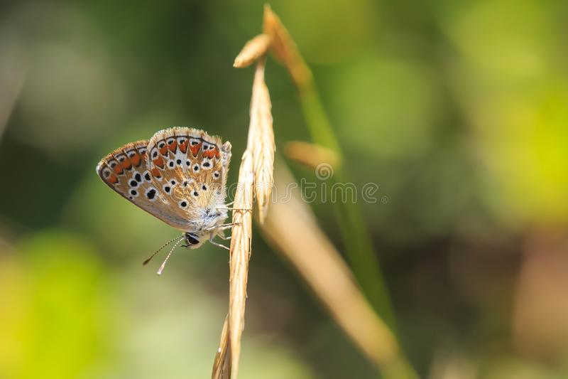 Anteros Aricia, голубая бабочка argus стоковое изображение