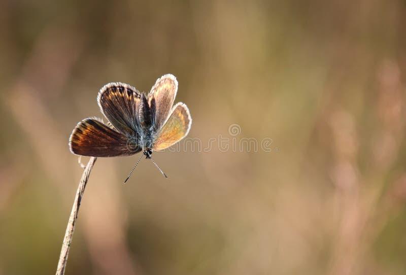 Anteros Aricia, голубой argus стоковые фото