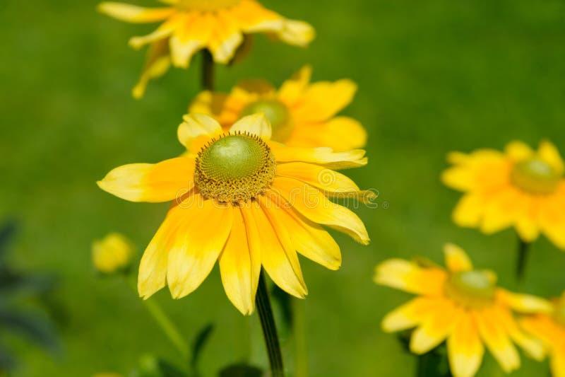 Anthemis tinctoria. Closeup Anthemis tinctoria flower in the garden stock images