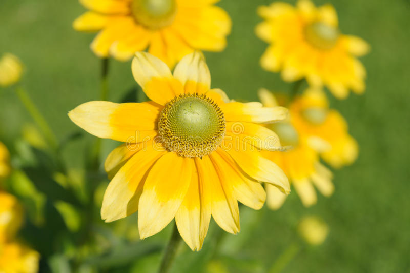 Anthemis tinctoria. Closeup Anthemis tinctoria flower in the garden stock photos
