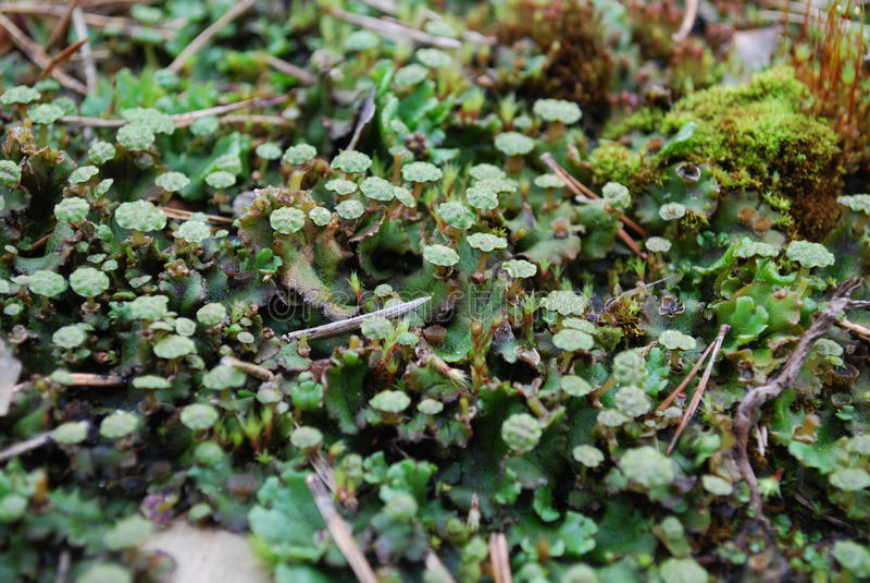 Antheridiophore (manlig gametophyte) av Marchantiapolymorpha arkivfoto