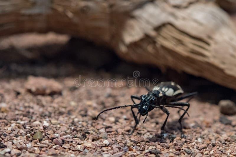Anthia sexmaculata埃及食肉动物的甲虫 免版税库存图片