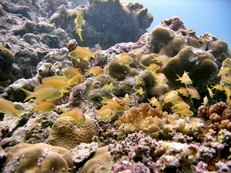 anthias礁石 库存照片