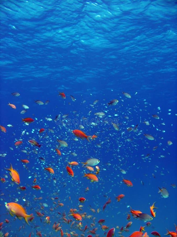 Free Anthias And Other Fish Stock Photos - 2698613
