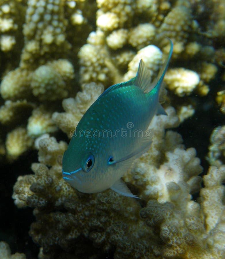 Anthias azul Chromis em Fiji coral imagens de stock royalty free