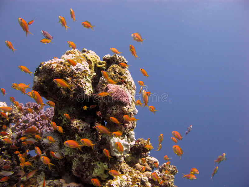 Anthias in a clear blue sea. School of anthias around a block of coral in a clear blue sea royalty free stock photography
