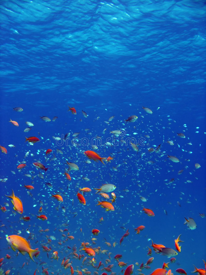 Anthias en andere vissen stock foto's