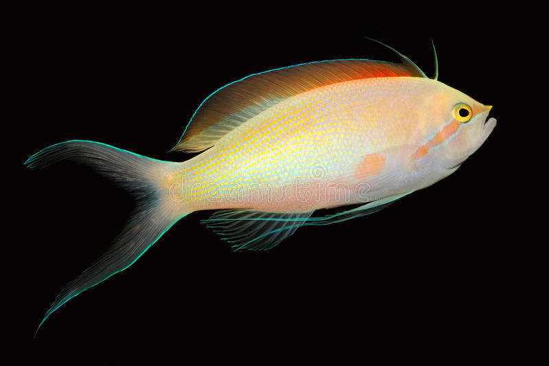 Anthias fish. Colorful Anthias fish (Pseudanthias spp.) isolated on black royalty free stock image