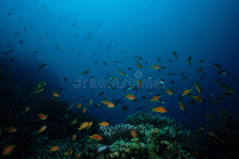 Anthias fish Red Sea stock photography