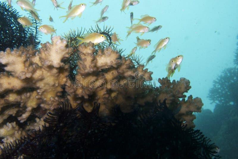 Anthias fiskar, Balicasag ö, Bohol, Filippinerna arkivbild