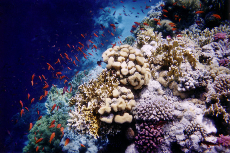 Anthias on the reef. Shot of Anthias fishes on a mixed coral reef in the Red Sea - Egypt stock images