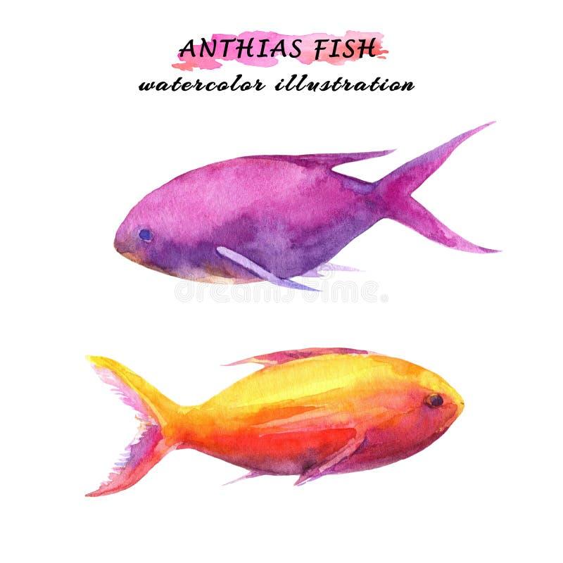Anthias-Rosa und gelbe Fische Gezeichnete Illustration des Aquarells Hand lizenzfreie abbildung