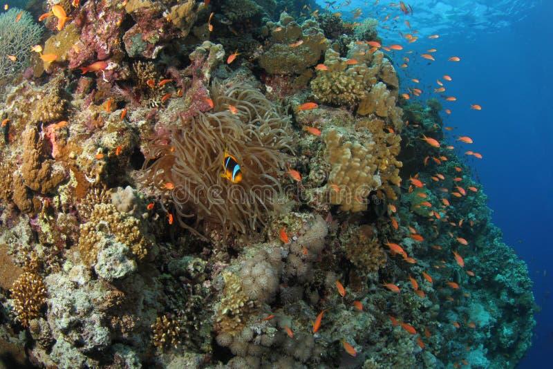 Anthias um Clownfish em um recife coral tropical foto de stock royalty free
