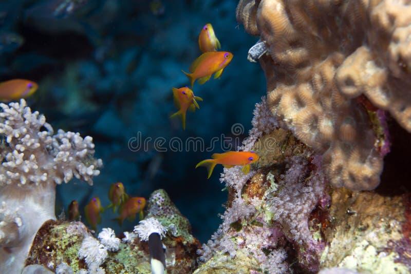 Anthias van Oman in het Rode Overzees. stock foto's