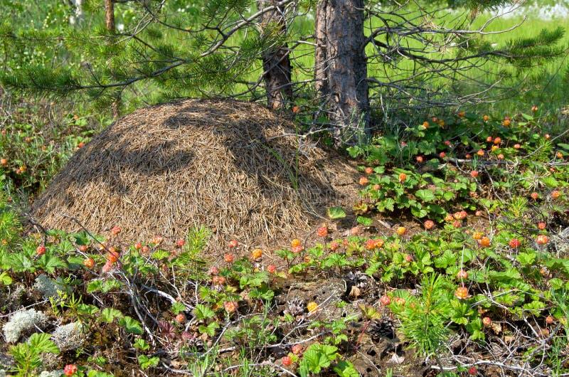 anthill вокруг морошки стоковая фотография rf