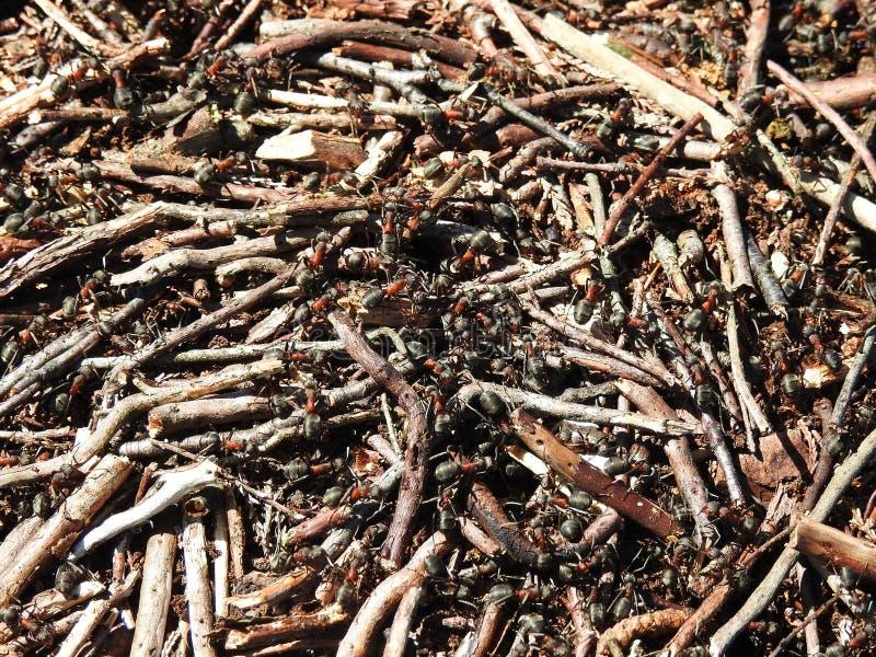 Anthill в пуще стоковые изображения rf