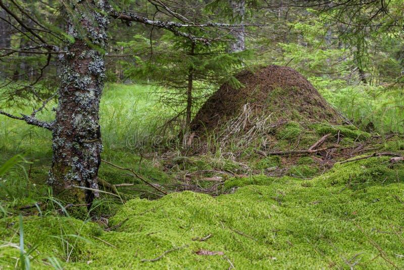 Anthill в древесинах стоковое изображение rf