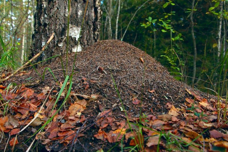 Anthill деревом в лесе стоковое изображение rf