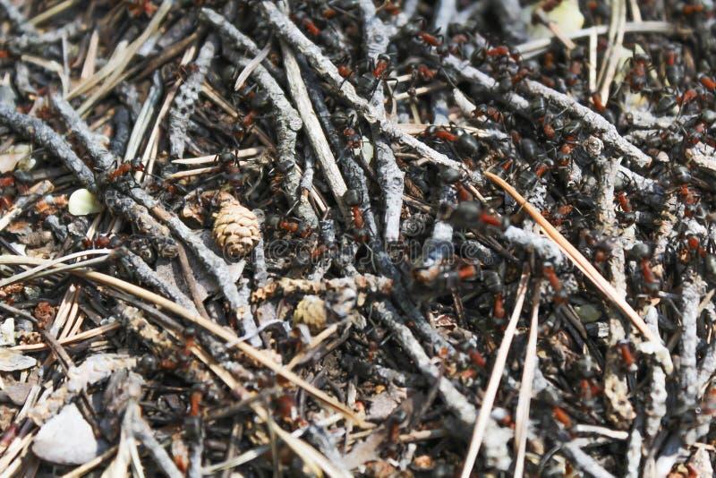 Anthill, муравьи стоковые изображения rf