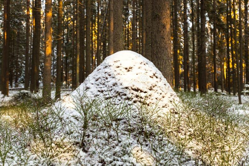 Anthill спать в древесине ели зимы в Karelia стоковая фотография rf