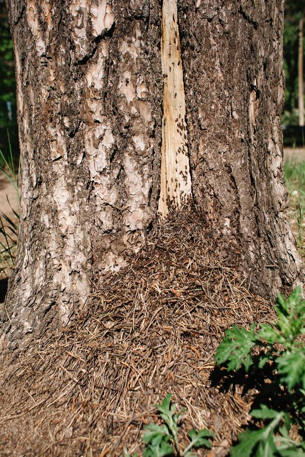 An anthill at the foot of a tree in the forest. Brown ants on the trunk. An anthill of pine needles at the foot of a tree in the forest. Brown ants on the trunk royalty free stock photo