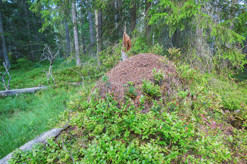 Anthill. In the taiga forest royalty free stock photography