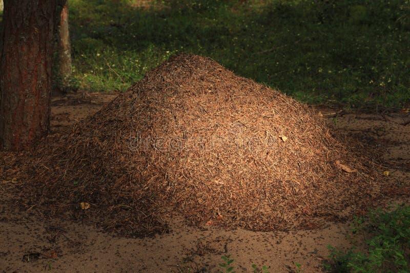 Anthill w lesie zdjęcia stock