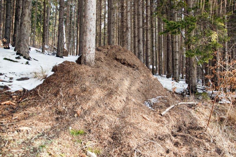 Anthill w wiosna lesie zdjęcie royalty free
