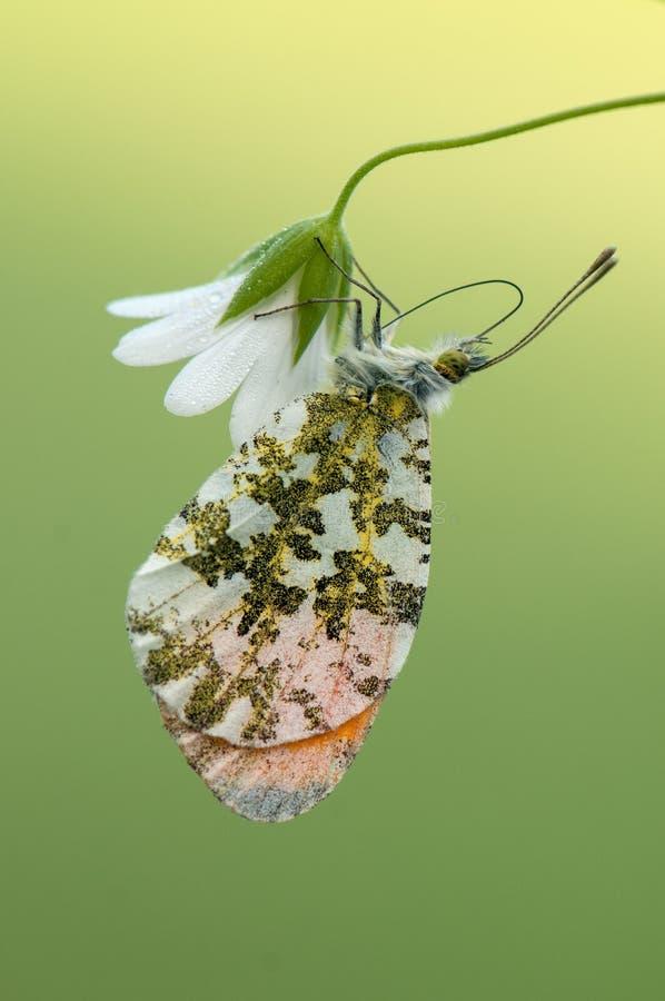 Anthocharis cardamines -昼夜蝴蝶 免版税库存图片
