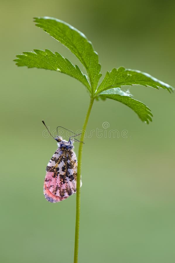 Anthocharis cardamines -昼夜蝴蝶粉蝶科会集在森林花的花蜜 免版税库存照片