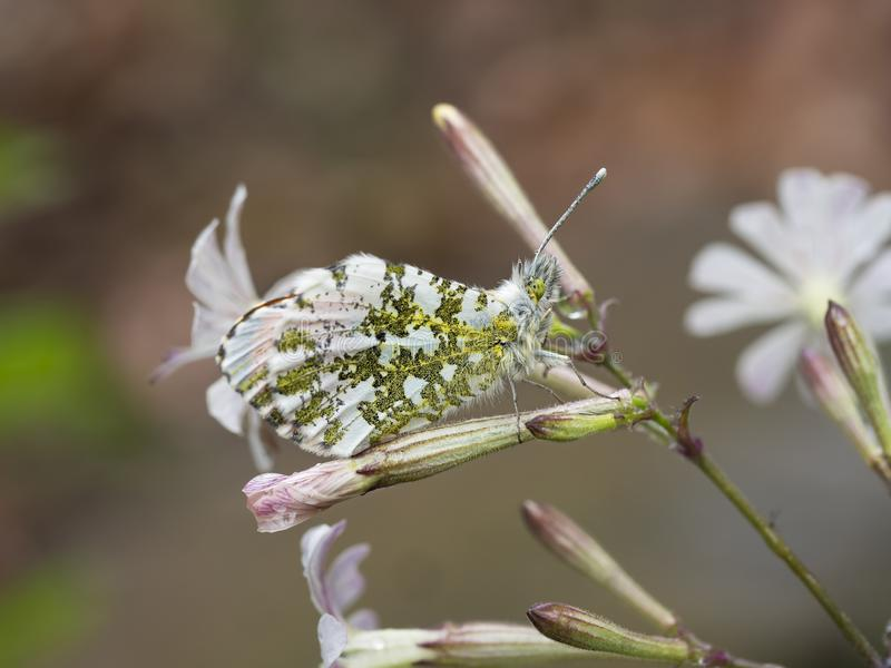 Anthocharis cardamines aka Orange Tip male butterfly on White Campion wild flower, Silene latifolia, camouflage closeup. Detail. After rain hence raindrops stock photography