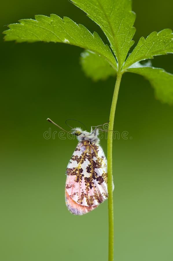 Anthocharis cardamines. Diurnal moth Pieridae gathers nectar on a forest flower in the morning stock photography