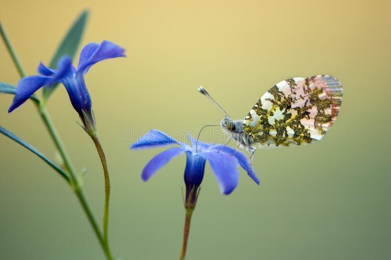 Anthocharis cardamines - diurnału Pieridae gromadzeń się motyli nektar na lasowym kwiacie obraz stock