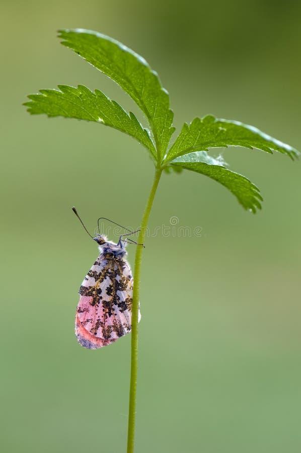 Anthocharis cardamines - diurnału Pieridae gromadzeń się motyli nektar na lasowym kwiacie zdjęcie royalty free