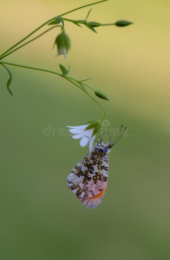 Anthocharis cardamines - diurnal butterfly. Pieridae gathers nectar on a forest flower in the morning royalty free stock image