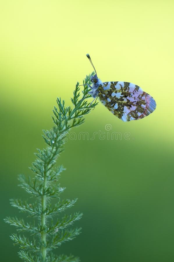 Anthocharis cardamines - diurnal butterfly Pieridae on a forest flower. Anthocharis cardamines - diurnal butterfly Pieridae  on a forest flower in the morning royalty free stock photography