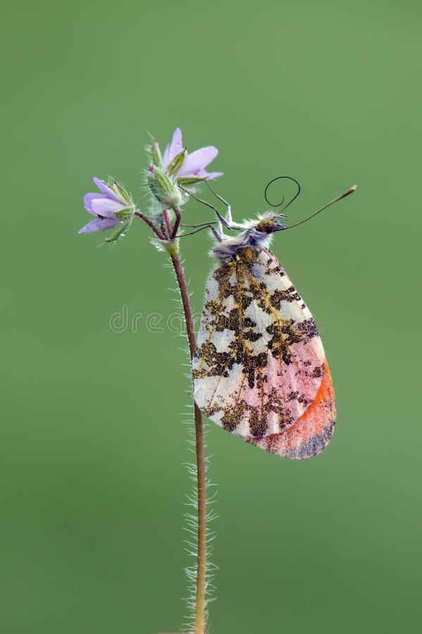 Anthocharis cardamines - diurnal butterfly. Pieridae gathers nectar on a forest flower in the morning stock photography