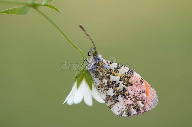 Anthocharis cardamines gathers nectar on a forest flower in the morning. Anthocharis cardamines - diurnal butterfly Pieridae gathers nectar on a forest flower in stock photography