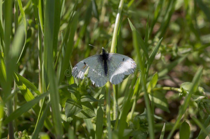 Anthocharis cardamines. Orange tip, aurora, Anthocharis cardamines royalty free stock image