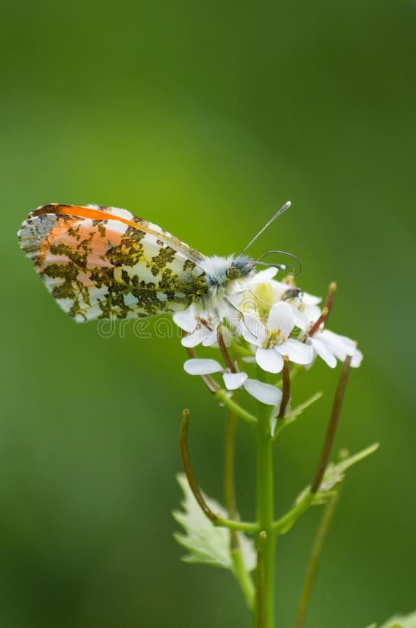Anthocharis cardamines, the orange tip a butterfly. Anthocharis cardamines, the orange tip. A butterfly drinking nectar stock image