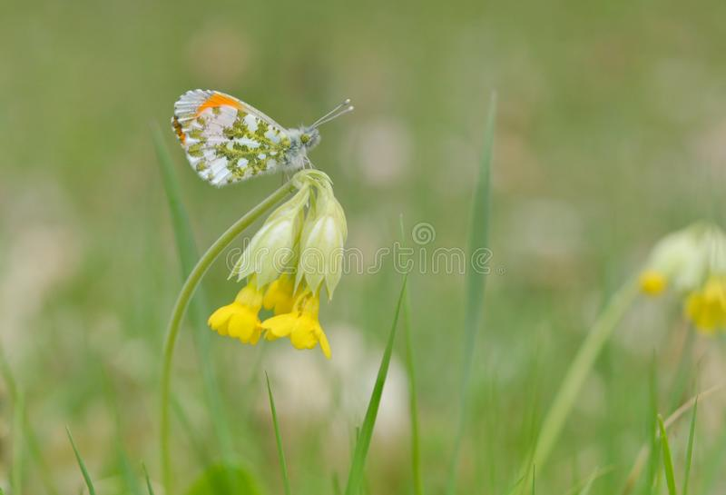 Anthocharis cardamines and Primula. Elatior, Small white butterfly whit green and orange spots on a yellow wildflower royalty free stock image