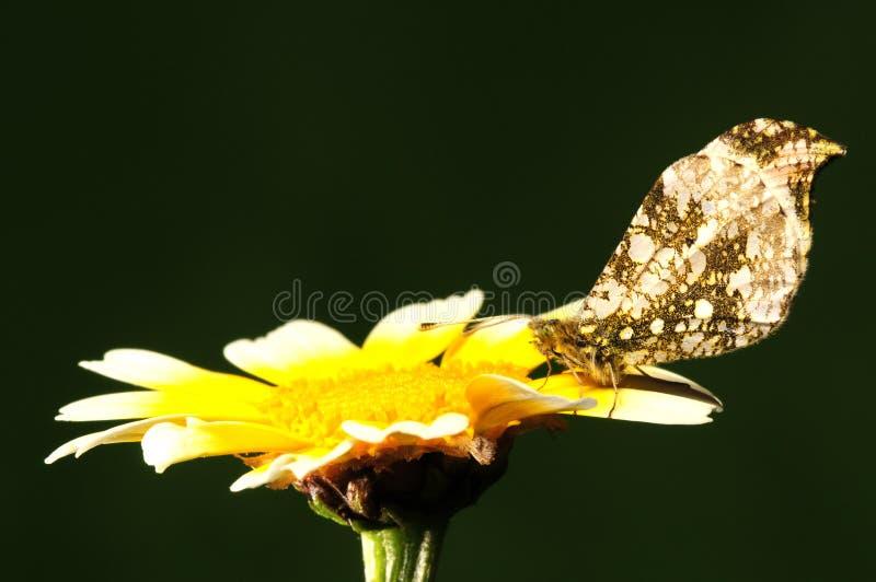Anthocharis scolymus, butterfly on flower