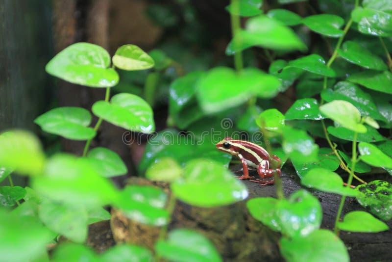 Anthony jadu strzała żaba obrazy royalty free