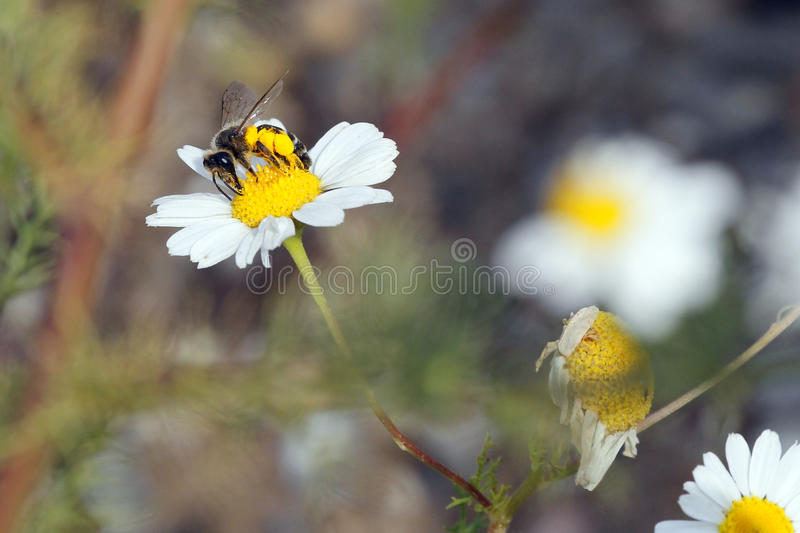 Anthophila bee carrying pollen in pollen basket stock images